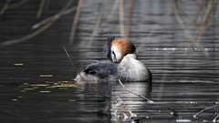 Great Crested Grebe (LouisaHocking) Tags: waterfowl cardiff nature wales southwales british bird duck wild wildlife water lake dock buteeastdock bute butetown greatcrestedgrebe grebe animalbehaviour behaviour courtship mating preening