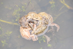 She's in there somewhere... (willjatkins) Tags: wildlife wildlifeofeurope europeanwildlife amphibians amphibian amphibiansofeurope europeanamphibians toads toad matingtoads matingball toadball commontoad bufobufo bufo britishwildlife britishamphibiansandreptiles britishreptilesandamphibians britishamphibians ukwildlife ukreptilesandamphibians ukamphibiansandreptiles ukamphibians hertfordshirewildlife hertfordshireamphibians pondlife springwildlife nikond610 nikon sigma105mm closeupwildlife closeup macro macrowildlife