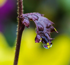 Beauty of Rain. (Omygodtom) Tags: tamron90mm tamron water raindrop flora usgs outside nature nikkor natural dof d7100 pov