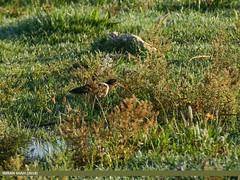 Greater Painted Snipe (Rostratula benghalensis) (gilgit2) Tags: avifauna birds canon canoneos70d canoneos7dmarkii category chakwal fauna feathers geotagged greaterpaintedsniperostratulabenghalensis imranshah kallarkhar kallarkharlake location pakistan punjab sigma sigma150500mmf563apodgoshsm species tags tamron tamronsp150600mmf563divcusd wildlife wings gilgit2 rostratulabenghalensis