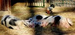 Happiness (BrigitteE1) Tags: schwein ferkel sau pig piglets sow fence bauernhof farm hühner chickens snapshot bürgerparkbremen chickenmating stroh straw sun sonne hof happiness hahn henne cock hen stall shed barn