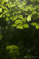 Green Leaves (Michiyo Photo) Tags: leaf leaves green nature land shadow mood darkness grey sun light mystery