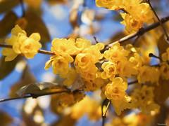 wintersweet (Christine_S.) Tags: chimonanthuspraecox japan robai olympus omd 25mm mirrorless outdoor nature flowers bright macro tree 蝋梅 em10markiii ngc npc coth5