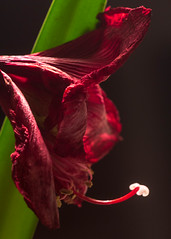 Wilting (San Francisco Gal) Tags: hippeastrum merrychristmas flower fleur bloom blossom pistil fading wilting