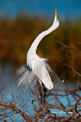 Displaying Great Egret (Let there be light (A.J. McCullough)) Tags: texas texasbirds egret rookery smithoaks smithoaksrookery highisland highislandtexas houstonaudubon birds courtship displaying featheryfriday