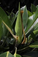 Ficus watkinsiana Moraceae Watkins Fig Nipple Fig 0118 01 Ravenshoe (John Elliott Townsville) Tags: arfp qrfp tropicalarf uplandarf atherton tabelandficusficus watkinsianamoraceaewatkins fignipple fig leaf ficus ficuswatkinsiana moraceae