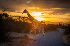 Sunset in Kenya, Africa (Jill Clardy) Tags: africa kenya vantagetravel safari 201902144b4a0299 sunset ol pejeta conservancy reticulated giraffe golden cloudy sky silhouette