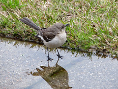 Bird In A Puddle. (dccradio) Tags: lumberton nc northcarolina robesoncounty outdoor outdoors outside grass lawn greenery yard bird mockingbird northernmockingbird sidewalk concrete cement nature natural animal march spring springtime friday fridaymorning morning goodmorning puddle rainpuddle reflect reflection canon powershot elph 520hs