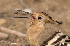 _GUL1156s (TARIQ HAMEED SULEMANI) Tags: sulemani tariq tourism trekking tariqhameedsulemani winter wildlife wild birds nature nikon