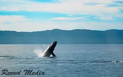 Whale Breach (REVVD Images) Tags: whale humpback breach breaching mexico