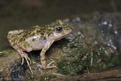 Pelodytes hespericus (Fernando_Iglesias) Tags: herping herps iberian amphibians anfíbios frogs