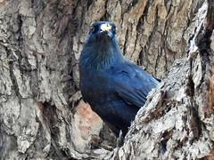 Australian Raven, (AdamsWife) Tags: raven australianbird tree bird westernaustralia
