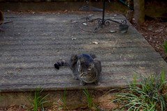 Pollen Count (rootcrop54) Tags: camille female mackerel tabby cat pollen wooden deck allergies neko macska kedi 猫 kočka kissa γάτα köttur kucing gatto 고양이 kaķis katė katt katze katzen kot кошка mačka gatos maček kitteh chat ネコ