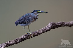 Striated Heron (fascinationwildlife) Tags: animal bird birding vogel striated heron mangrovenreiher reiher log wild wildlife nature natur river cuiaba brasilien brazil south america südamerika