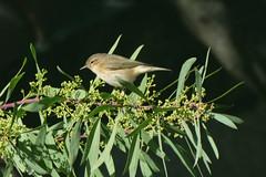 Pouillot perché dans le mimosa 4 saisons (guy dhotel) Tags: oiseau bird pouillot mimosa jardin