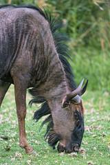Gnu grazing (Tambako the Jaguar) Tags: gnu antelope ruminant grazing eating grass standing close profile portrait face horns lionsafaripark johannesburg southafrica nikon d5