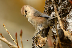 American_Bushtit_05 (DonBantumPhotography.com) Tags: wildlife nature birds animals americanbushtit donbantumphotographycom donbantumcom