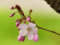 First day of Spring! (Christa_P) Tags: nature flower blumen blüte blossom cherryblossoms kirschblüten closeup spring frühling