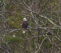 Perched Mature (John Kocijanski) Tags: immaturebaldeagle eagle bird birdofprey trees animal wildlife nature canon400mmf56 canon7d