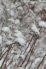 Snow (historygradguy (jobhunting)) Tags: easton ny newyork upstate washingtoncounty snow plants explored