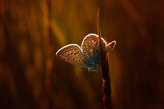 Light is my Life (♥ ⊱ ╮Juergen~ Off for some days╭ ⊰ ♥) Tags: sunrise wildlife morning butterfly meadow untouched