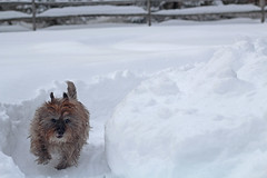 Sedum's running some laps on her outdoor track - 1/21/19 (myvreni) Tags: vermont winter nature snow outdoors animals dogs cairnterriers pets
