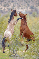 Are the girls looking yet (littlebiddle) Tags: arizona saltriver nature horses equine wildlife animals mammal