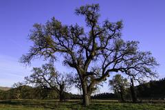 Old growth (trifeman) Tags: 2019 april spring california berryessa canon 7d canon7dmarkii napa knoxvillerecreationalarea lakeberryessa oak tokina