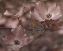 Some other spring... (Southern Darlin') Tags: art dogwood blossoms flowers photography nature naturephotography photoshop texture