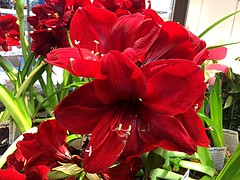 #Amaryllis #RED (RenateEurope) Tags: renateeurope iphoneography flowers flora amaryllis red awesomeblossoms