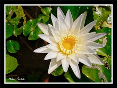 nénupar en fleur ( waterlilly) (hcortade) Tags: fleur flower nénuphar waterlilly blanc eau feuille vert white macro jaune yellow samui ile thaïlande asie coth5 outside dehors nature