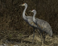 2I1A1388-Edita (lfalterbauer) Tags: canon 7dmarkii nature wildlife sandhillcrane adobe lightroom ornithology avian outdoor dslr camera photographer