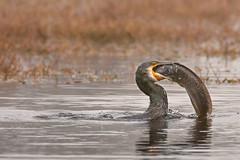 Cormorant with catfish kill - Closeup (mahesh.kondwilkar) Tags: avifauna bharatpur birds cormorant greatcormorant keoladeo keoladeonationalpark phalacrocoraxcarbo rajasthan catch