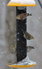 American goldfinches and pine siskins (carpingdiem) Tags: goldfinch pinesiskin birds winter indianapolis 2019 feeder snow