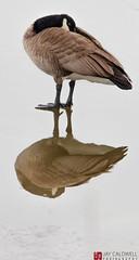 Over Under (jamescaldwell1) Tags: reflection canadagoose kansas