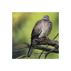 Spotted Turtle-Dove (ssoross1) Tags: birds backyard