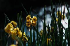 * (t*tomorrow) Tags: fujifilm xpro2 85mm flower bbl