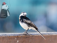 Pied Wagtail (Pondering Panda Photography) Tags: animals birds motacillaalbayarrellii nature outdoor wild
