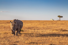 Endangered Rhino (Jill Clardy) Tags: rhino rhinoceros olpejetaconservancy sweetwaterstentedcamp kenya africa safari vantagetravel 201902134b4a9995 endangered protect protection nanyuki ol pejeta acacia tree monument headstones poach poacher