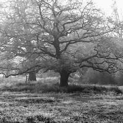 branchy and rimy (vertblu) Tags: oaktrees oaks rime rimy softrime frostyrime frost frosty hoarfrost hoar winter wintery wintry baretrees mono bw fog foggy fogandmist winterfog mist misty duvenstedterbrook nsgduvenstedterbrook hamburggermany naturschutzgebiet naturepreserve preservearea preservationarea vertblu inthewoods forest openforest woods woodland wood meadow bsquare 500x500