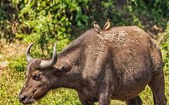 African Buffalo & Yellow-billed Oxpecker (C&P_Pics) Tags: africanbuffalo birds bovidae kazingachannel mammals oxpecker places queenelizabethnp uganda yellowbilledoxpecker