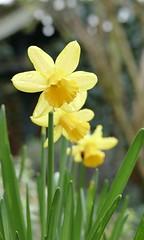 Three (tanith.watkins) Tags: three narcissi smileonsaturday threesame daffodils