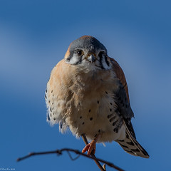 Eye contact (Explored) (Fred Roe) Tags: nikond7100 nikonafsnikkor200500mm156eed nature naturephotography national wildlife wildlifephotography birds birding birdwatching birdwatcher raptor falcon colors flickr outside americankestrel falcosparverius peacevalleypark