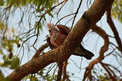 Galah -baby (22Lavender22) Tags: elements nature d3400 nikon wildlife australia