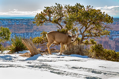 South Rim of the Grand Canyon (Sandy Hansen Photography) Tags: arizona grandcanyon southrimgrandcanyon deer wildlife nature nationalpark travel canon