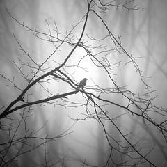 Alone VIII (ilias varelas) Tags: fog forest field blackandwhite bw nature mood mono monochrome mist landscape light bird trees atmosphere square
