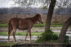 Foal (JLM62380) Tags: foal horse poulain cheval camargue pluie rain nature france