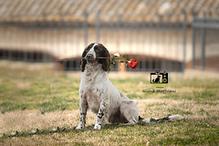 *** A love Story *** (fsstudiopetphotography) Tags: fsstudio fsstudiopetphoto stayfsstudio springerspaniel springer spaniel springerspanielsofinstagram springerlover love cute dog roses springeroftheday