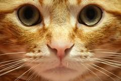 Spritz (En memoria de Zarpazos, mi valiente y mimoso tigre) Tags: cat kitten gato gatto chat greeneyes ojosverdes miradafelina portraitcat closeup ginger orangetabby naranja rosso roux red spritzeddu spritz nikon