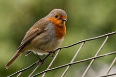 Wire Bird (Maskedmarble) Tags: devon zoo paignton fence bird robin